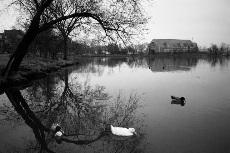 ducks on river 2 26 20_donald groves